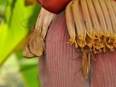 バナナセセリ