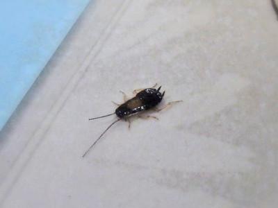 ゴキブリの仲間?