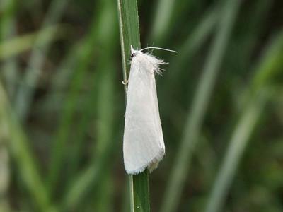 甘蔗白禾螟蛾