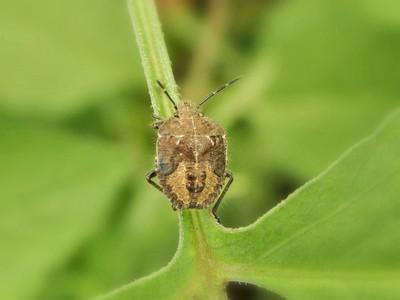 ブチヒゲカメムシ幼虫