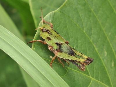 トノサマバッタの幼虫?