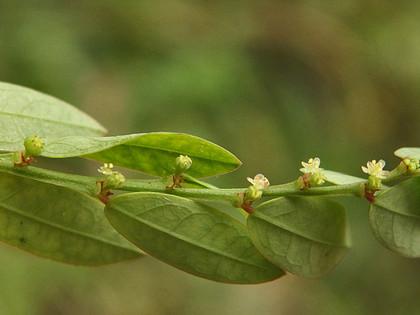 ヒメミカンソウ花