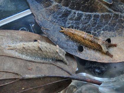 オオムラサキ・ゴマダラチョウの幼虫