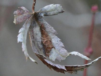 ミスジチョウの幼虫