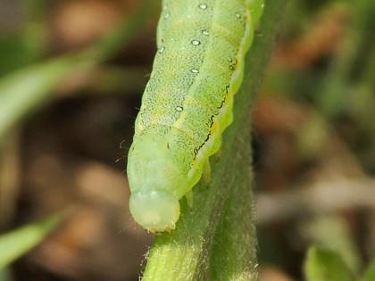 アヤモクメキリガの幼虫