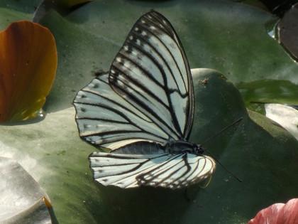 アカボシゴマダラ春型