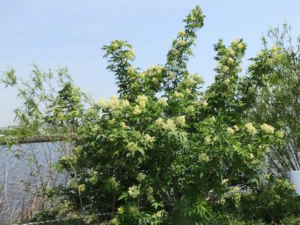 キミノエゾニワトコの花