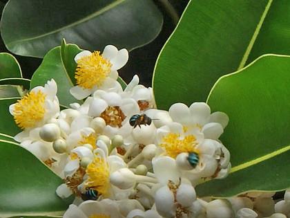 アマミアオスジフトハナバチ