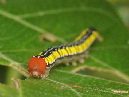 カバイロオオアカキリバの幼虫