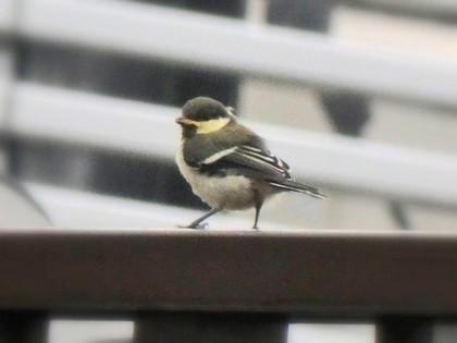 シジュウカラの幼鳥