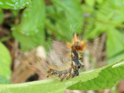 オビガ幼虫