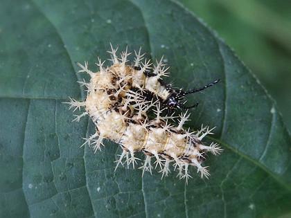 サカハチチョウの幼虫