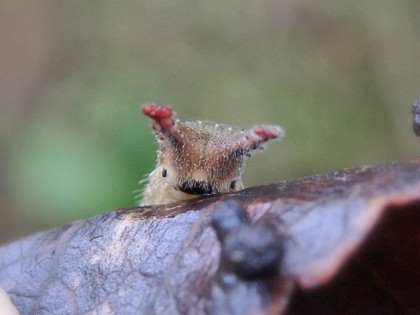 オオムラサキの越冬幼虫