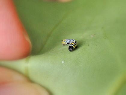 アサギマダラ幼虫