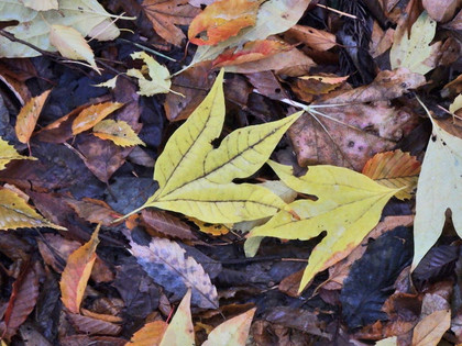 シロモジの黄葉