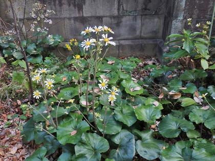 ツワブキの白花種?