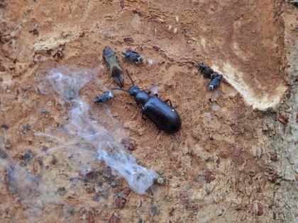 ケヤキの樹皮裏の虫たち