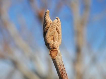 アカメガシワの冬芽