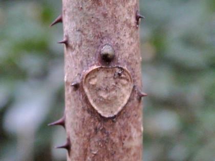 カラスザンショウの冬芽と葉痕