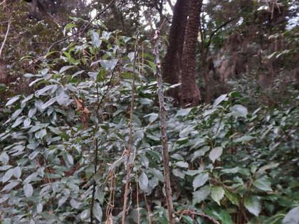 カラスザンショウの幼木