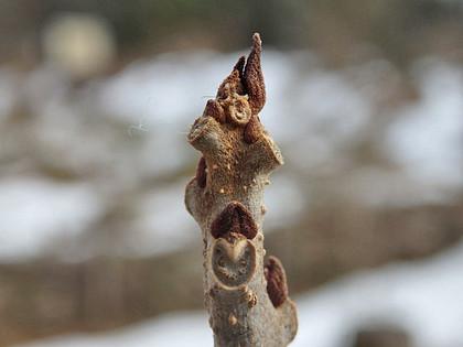 クサギの冬芽と葉痕