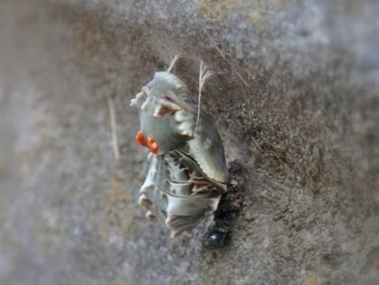 ジャコウアゲハの越冬蛹