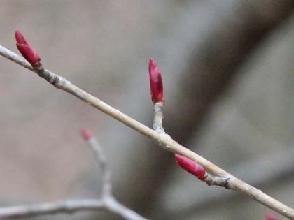 イヌザクラの冬芽