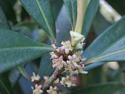 タイミンタチバナ雌花