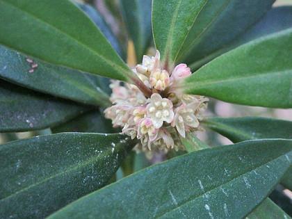 タイミンタチバナ雄花