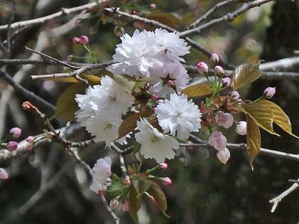 カスミザクラ '奈良の八重桜'