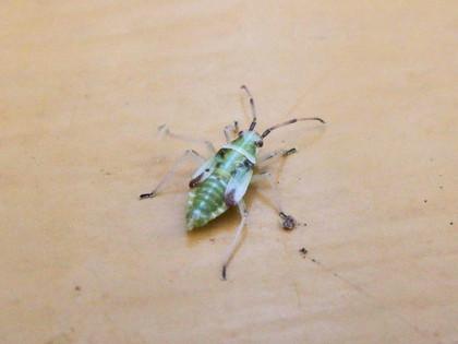 コブヒゲカスミカメ幼虫?