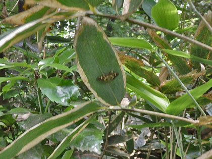 タイワンモンキノメイガ