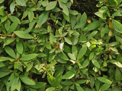 クロテンシロヒメシャク
