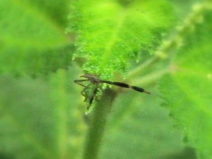 オオクモヘリカメムシの幼虫