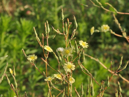 トゲチシャの花