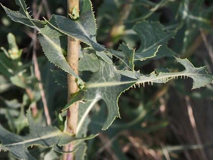 トゲチシャの葉