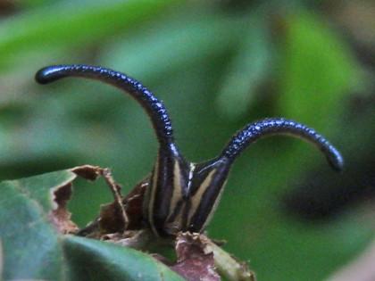 スミナガシの幼虫