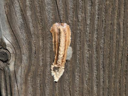 チョウセンカマキリの卵鞘