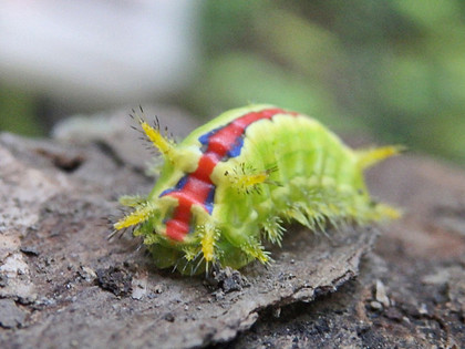 クロシタアオイラガの幼虫