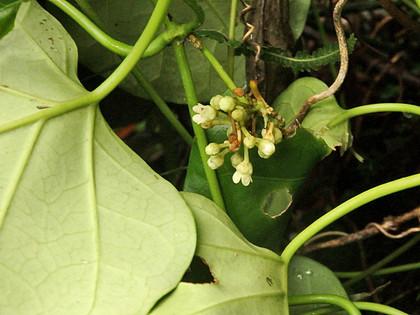 キジョランの花