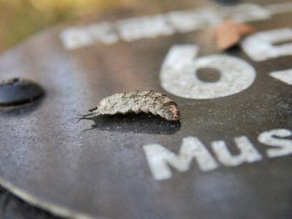 フタスジヒラタアブ幼虫