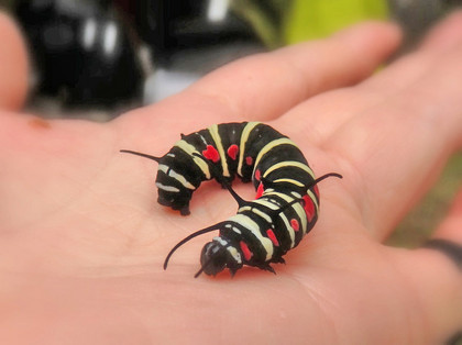 オオゴマダラの幼虫