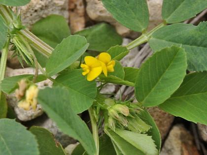 ウマゴヤシ花
