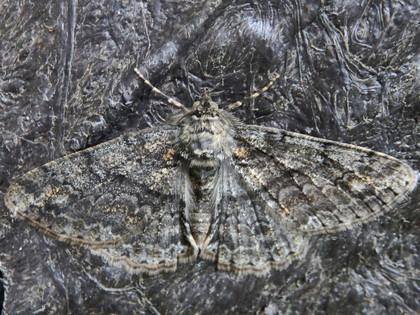 シロテンエダシャク