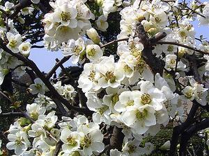 白いボケの花 '04/03/26 東京都港区