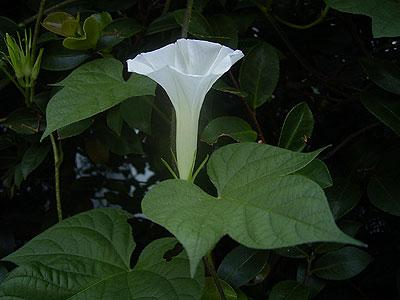 白いアサガオの花 '04/08/13 東京都北区