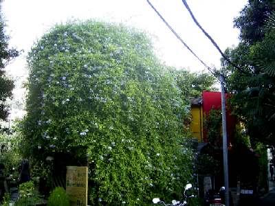 ルリマツリの樹