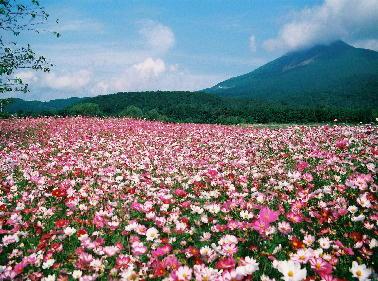 磐梯山の麓に広がるコスモス畑
