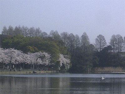 d050409-sakura