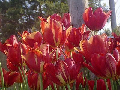 d050506-tulip